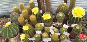 Knurów: Wystawa kaktusów w Miejskiej Bibliotece Publicznej